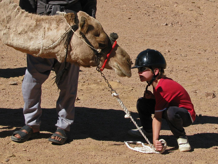Couching a camel at the Mt Sinai camel riding school