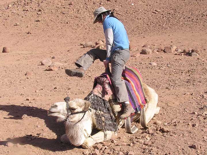 Mounting a camel at the Mt Sinai camel riding school