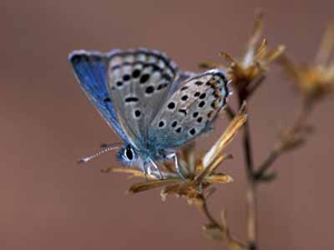 Baton Blue butterfly, male adult, Mt Sinai