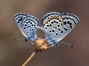Baton Blue butterflies mating, Mt Sinai