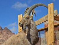 Ibex son (just 2 years old)